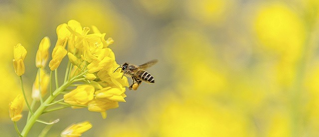 franfi bann abeille